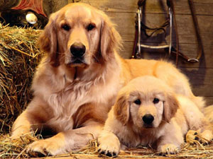Golden Retriever Mom and Puppy Litter Picture