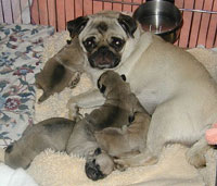 Pug and Puppy Litter Picture