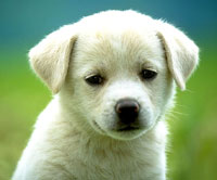 White Puppy Picture